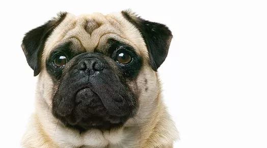 Pug Dog Treats
