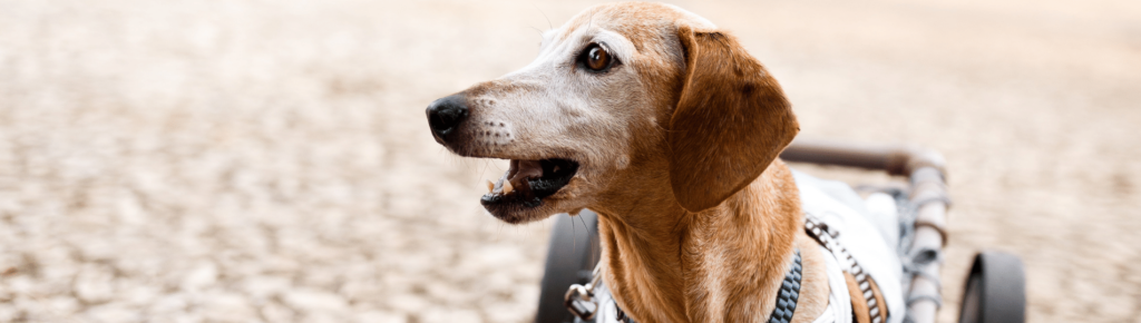 Five Telltale Signs That Your Dog Is In Pain